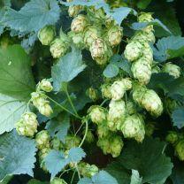 hops essential oil 5ml