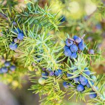 juniper berry essential oil 5ml
