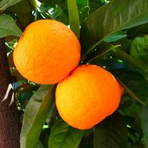 sweet orange essential oil 5ml